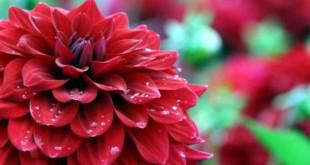 گل کوکب (Dahlia)