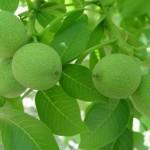 جوشانده گیاهی مفید برای دیابت