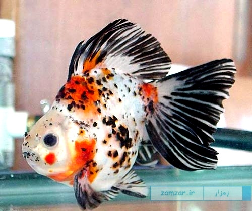 Egg Fish تخم مرغی