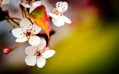گل بهارانه