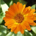 گل همیشه بهار و روش نگهداری آن