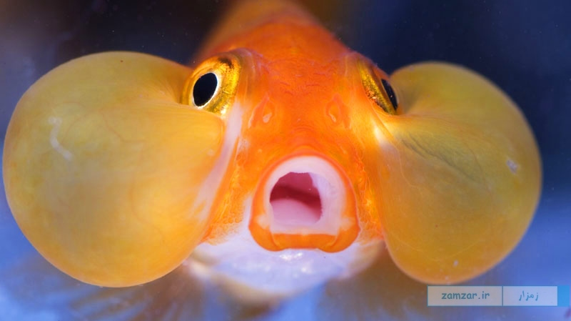 Bubble Eye Goldfish چشم حبابی