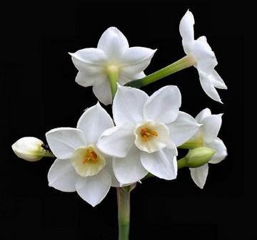 نرگس زیبای سفید