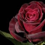 پرورش گل رز در گلدان