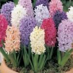 پرورش و نگهداری از گل سنبل