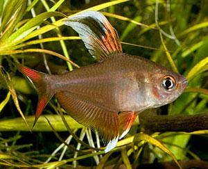 ماهی تترای رزی جنس نر