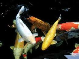آبزیان و ماهیان آکواریومی آب شیرین