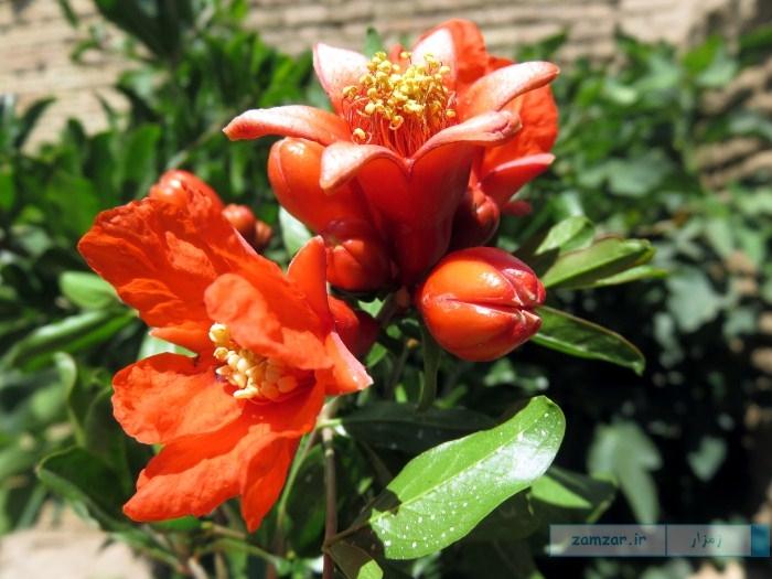 گل های انار