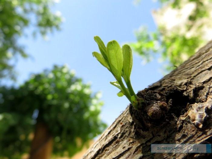 جوانه درخت عناب