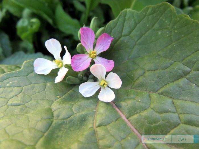 گل های تربچه