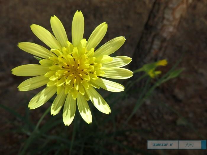 گل وحشی