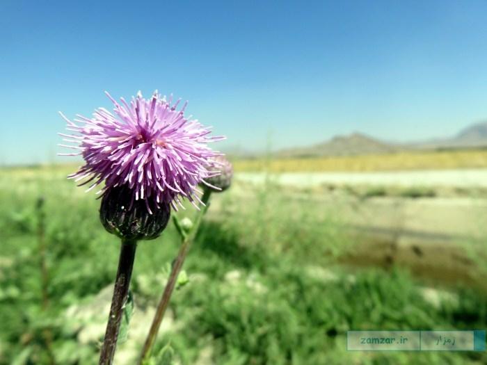 گل های وحشی