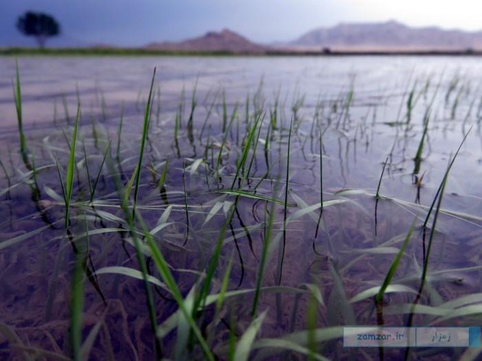 سبز شدن نشاء برنج