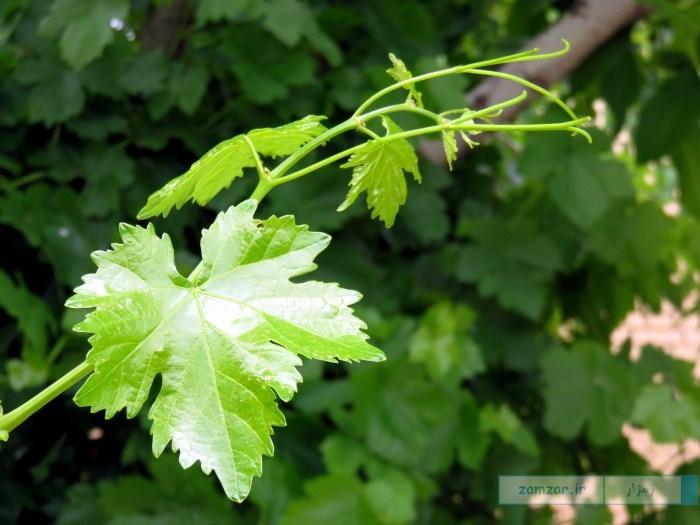 درخت تاک (انگور)