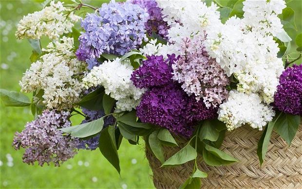 گل یاس بنفش خوشه ای