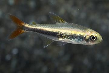 عکس : ماهی تترای لورتو
