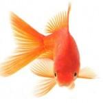 نکاتی درباره نگهداری ماهی قرمز عید