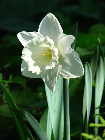 گل نرگس سفید