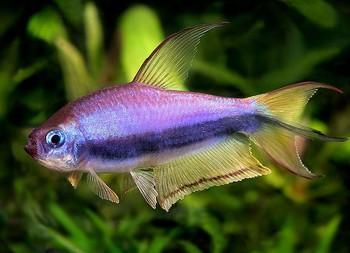 ماهی تترای امپراتور