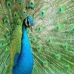 کدام پرنده، زینتی است؟