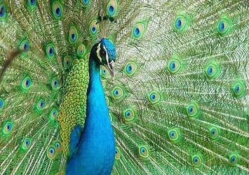 طاووس زیبا