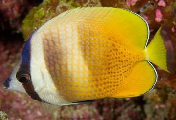 پروانه ماهی ها