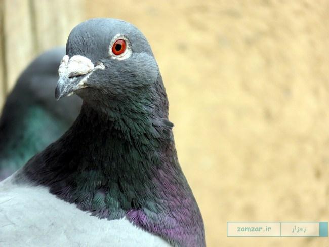 از گوشه و کنار کرکوند - کبوتر (برج کبوتر امامزاده)