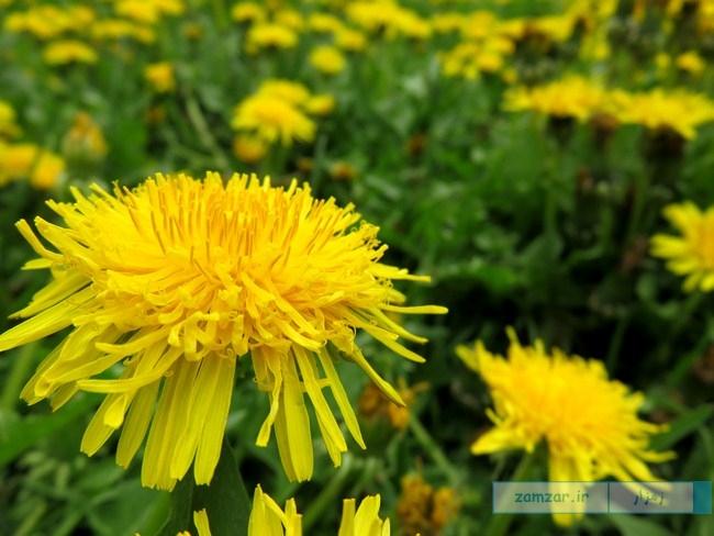 از گوشه و کنار کرکوند - گل قاصدک (یکی از پارک)