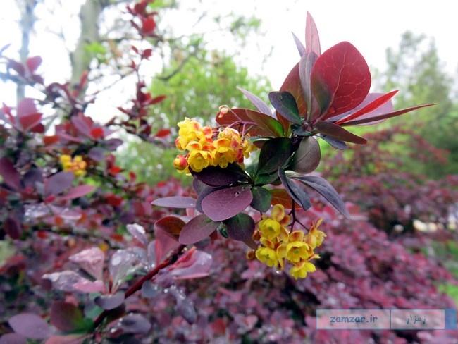 از گوشه و کنار کرکوند - شکوفه های بهاری (یکی از پارک ها)