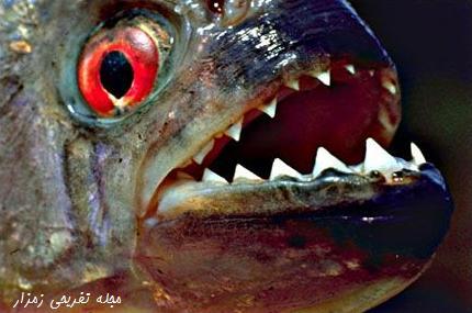 آرواره ماهی پیرانا