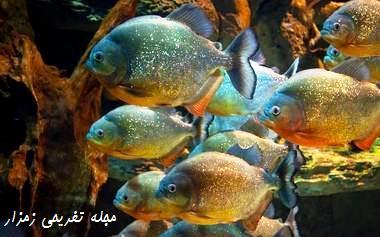 زندگی گروهی ماهی پیرانا