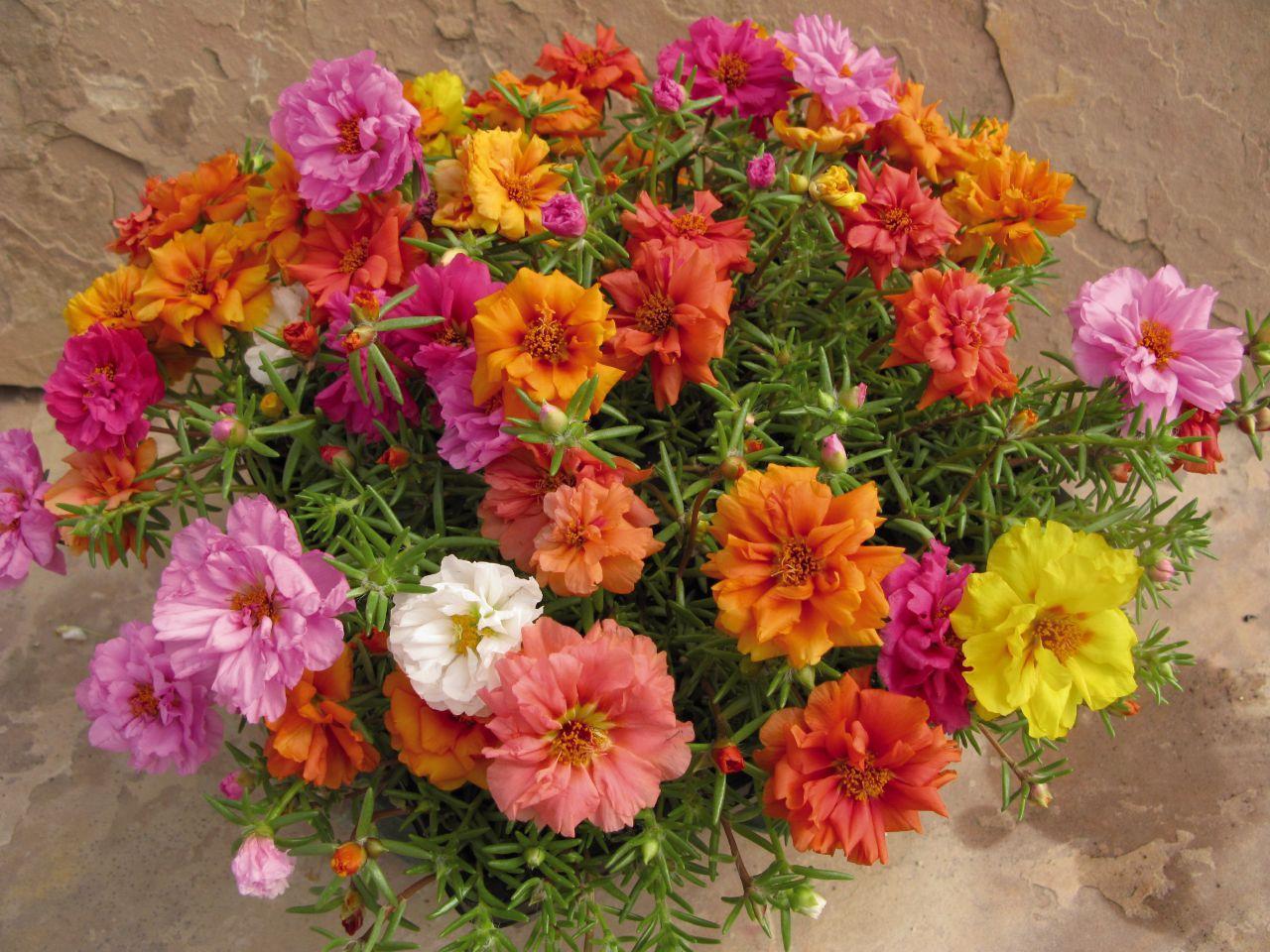 گل ناز آفتابی grandiflora