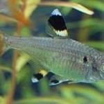 پرورش و نگهداری ماهی تترای پریستلا