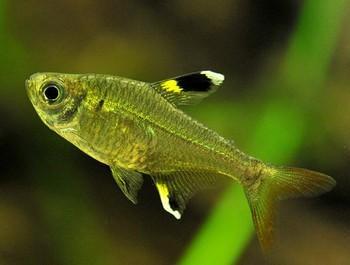 ماهی تترای پریستلا طلایی