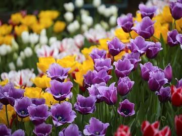 منظره زیبا با گل های لاله