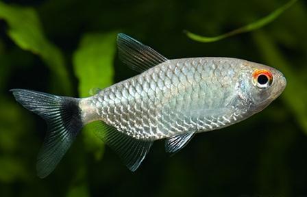 ماهی تترای چشم قرمز (چشم چراغی)
