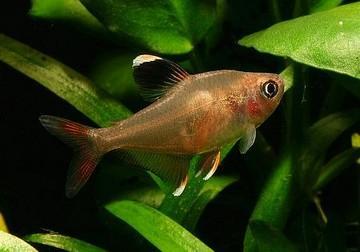 ماهی رزی تترا(Rosy Tetra)