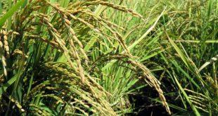 خوشه های زرین برنج (تصاویری از شالیزارهای کرکوند)