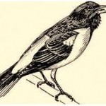 پرندگان چگونه آواز خواندن را یاد میگیرند؟