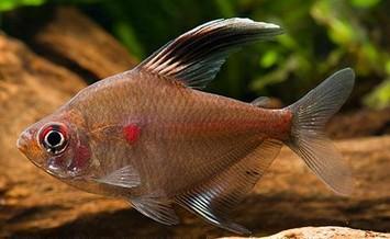 عکس ماهی تترای قلب خونی