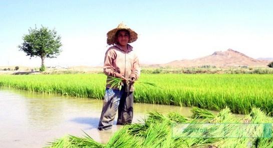 (تصاویر) شالیکاری در مزارع شهر کرکوند ۱۳۹۵