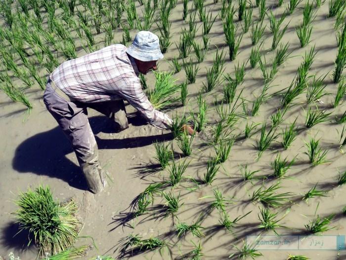 کاشت برنج در مزارع شهر کرکوند