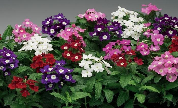 گل شاه پسند (Verbena)