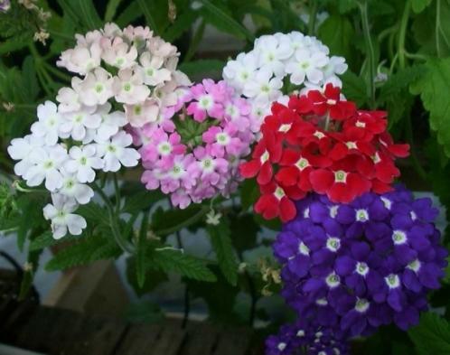 روش کاشت گل شاه پسند (Verbena)