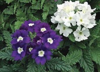 کاشت گل شاه پسند (Verbena)