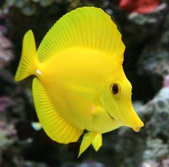 جراح ماهی زرد (Yellow Tang)