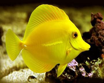 ماهی تانگ زرد