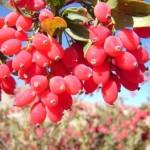 گیاه زرشک و خواص درمانی آن