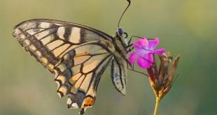 بلبل و پروانه