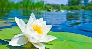 عکس گل سفید